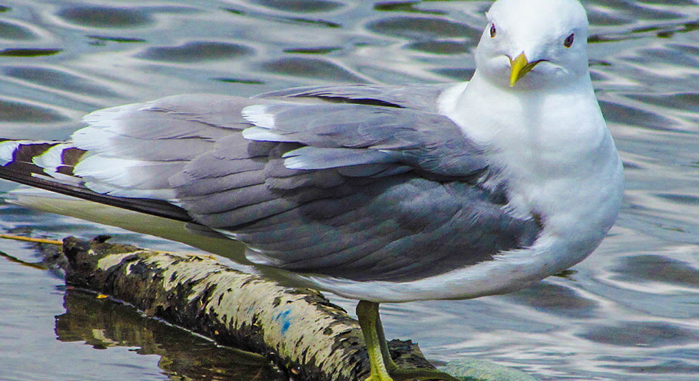 This seagull makes perfect pose for the camera