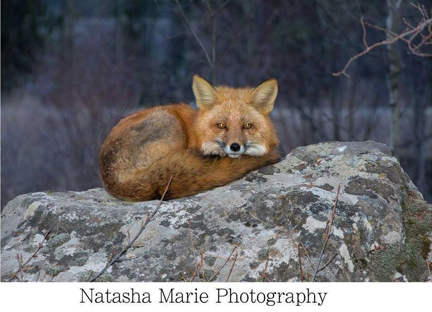 An injured fox in Whitehorse | Photo: Natasha Marie