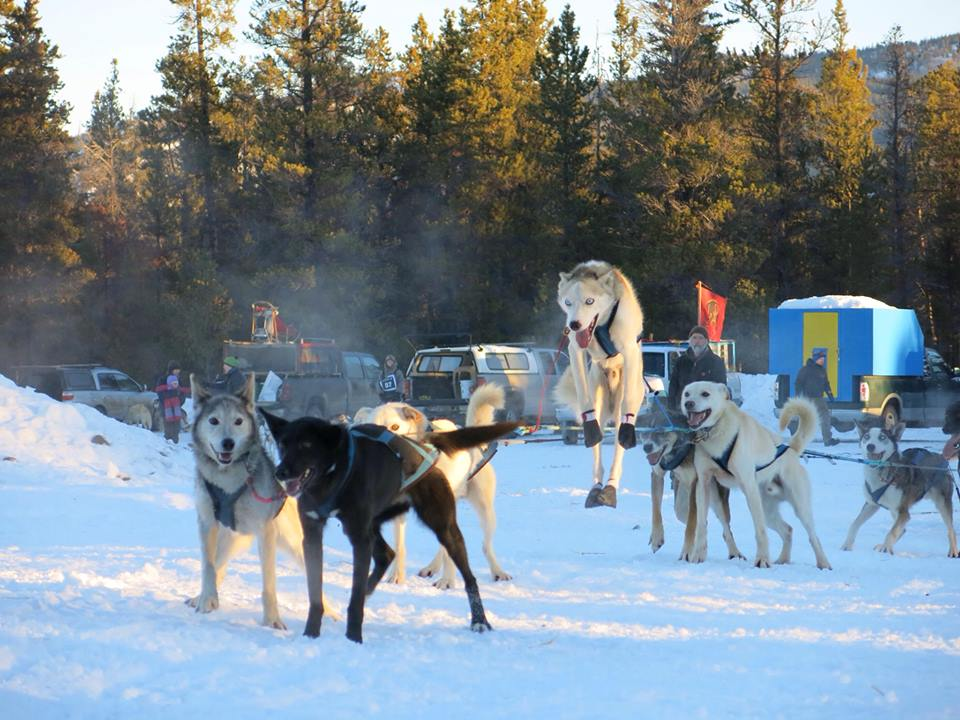 A pair of sled dogs readying for the off . One has already decided to take the easy option. Carbon Hill race, January 2014. (Photo credit - Mie Hayashida).
