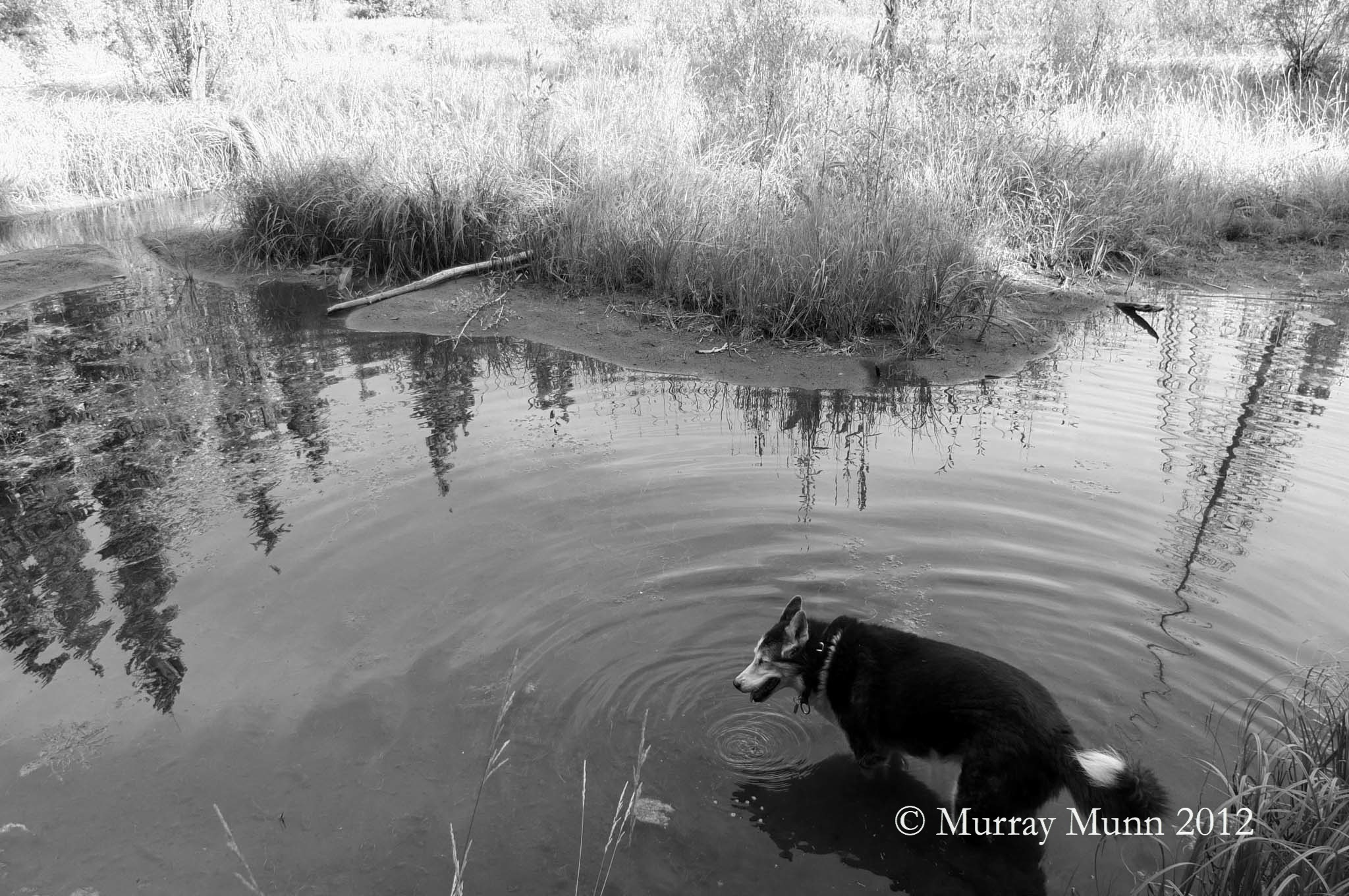 Shelby pausing in water, Lost Pond | Photo by: Murray Munn